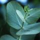 Eucalyptus olie desinfecteert en geeft verlichting.