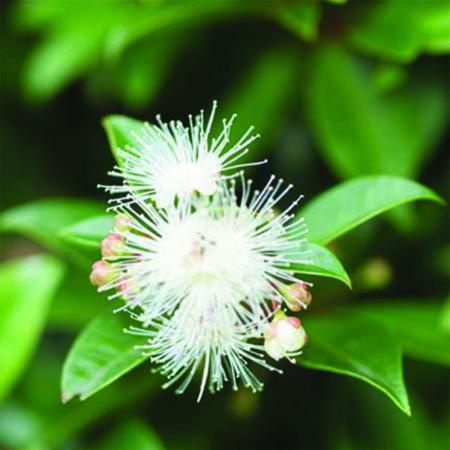 Mirte is een etherische olie van de Groene Lindeis een etherische olie van de Groene Linde