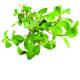 Oreganum olie is een etherische olie van de Groene Linde