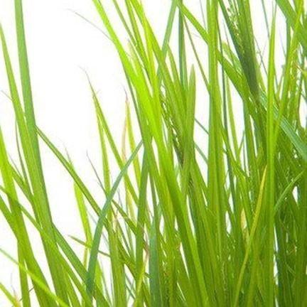 Palmarosa is een etherische olie van de Groene Linde
