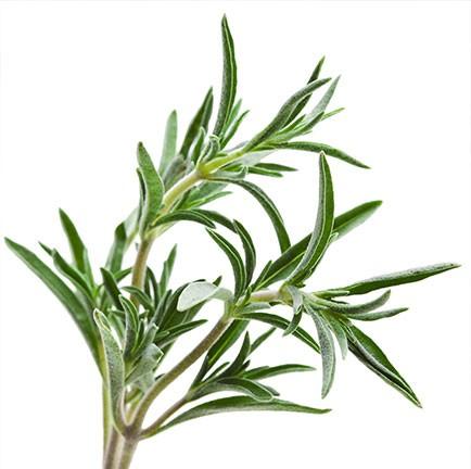 Rozemarijn olie is een etherische olie van de Groene Linde