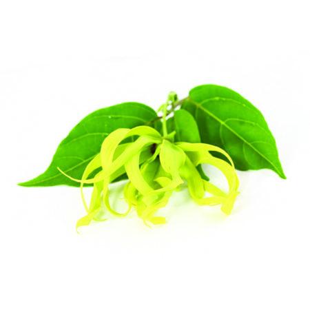 Yang Ylang olie is een etherische olie van de Groene Linde