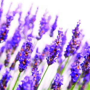 Lavendelolie is een etherische olie van de Groene Linde