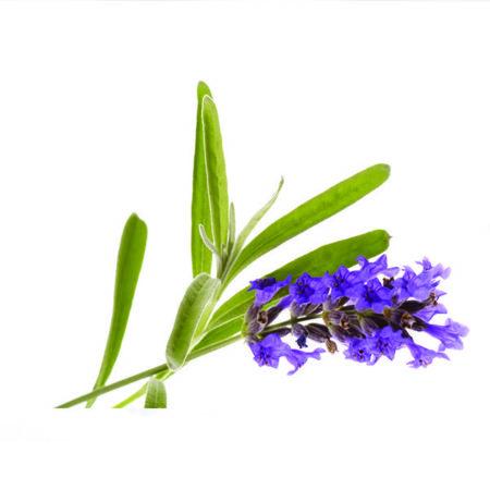 Lavendin is een etherische olie van de Groene Linde