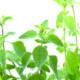 Marjolein is een etherische olie van de Groene Linde