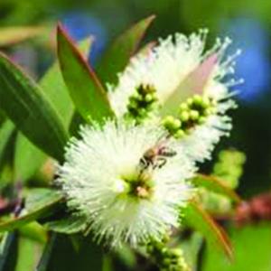 Niaouli is een etherische olie van de Groene Linde