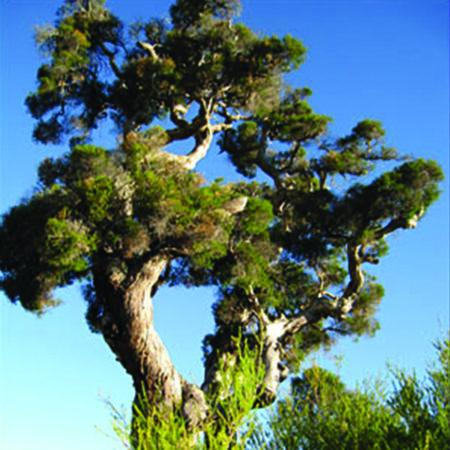 Tea Tree olie is een etherische olie van de Groene Linde