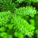 Zilverspar is een etherische olie van de Groene Linde