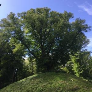 Een 450 jaar oude Lindeboom op de Kattenberg